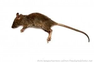 крыса, грызун