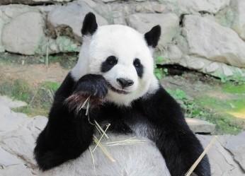 панда, животные, Китай