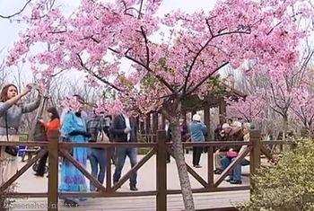 весна, цветы, Китай, видео