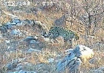 леопарды, Китай