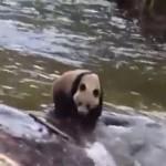 Большая дикая панда позировала туристам в Китае (видео)