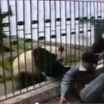 Панда-модница ворует вещи у посетителей зоопарка (видео)