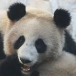 Панда-долгожитель попала в Книгу рекордов Гиннесса (видео)