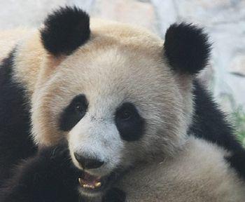 панда, Китай
