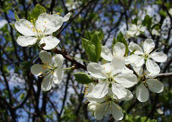 слива, цветы, весна
