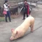 Свинья пришла молиться к буддистскому храму в Китае (видео)
