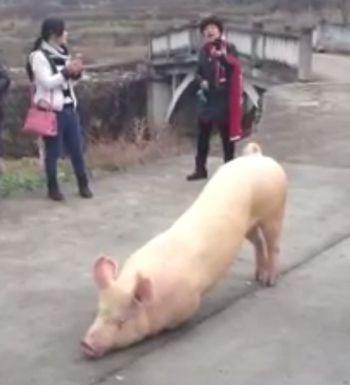 свинья, храм, Китай, молитва