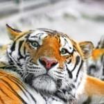 Тигра сделали игрушкой для посетителей цирка в Китае (видео)