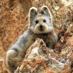 Магические кролики в Тянь-Шане под угрозой исчезновения