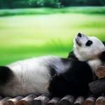 Десятилетняя панда — звезда фотосъемок
