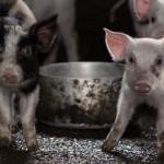 Свинья в Китае набросилась на мясников (видео)