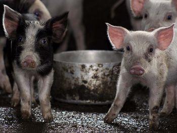 поросята, свинья в Китае