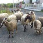 бараны, стадо, овцы