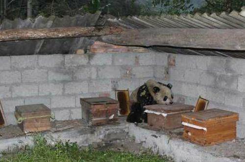 панда, вор, фото