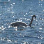 За информацию об убийцах 233 лебедей объявлена награда