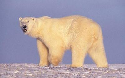 белый медведь, животное