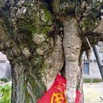 200-летнее дерево показало людям свое лицо старика
