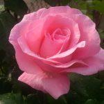 Современная романтика в Китае — розы и 25 новых iPhone Х