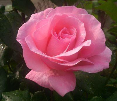 роза, цветок,