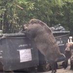 Огромный кабан пришел на завтрак к школе в Гонконге (видео)