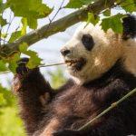 Панда залезает на дерево и покоряет Интернет (видео)