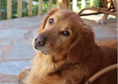 собака, голден ретривер,