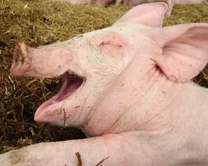 свинина,