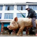 Наездник на свинье поднимает настроение китайцам
