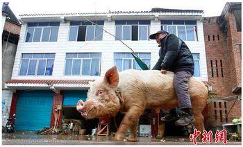 Китай, фермер, свинья