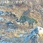 Редких леопардов сняли на видео пограничники (видео)