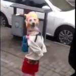 Китай. Собака разгуливает в нарядах, как человек (видео)