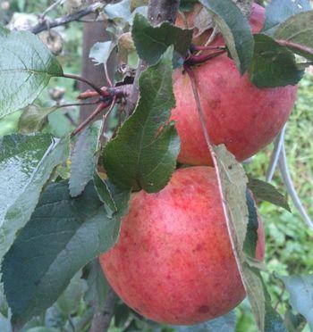 яблоки, продукты, питание