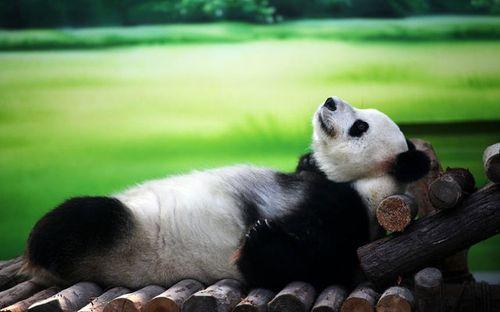 панда, фото