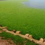 Было море, стало поле — атака зеленых водорослей