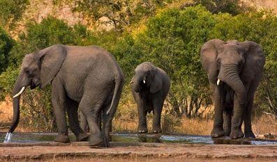 слон, животное,