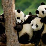 панды, Китай, заповедник в Чэнду