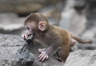 обезьяна,