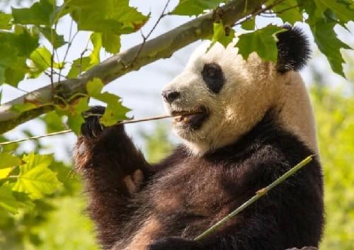 панда, палочки,