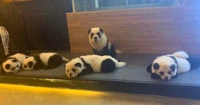 собаки-панды, панда,