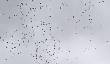 вороны, коронавирус,